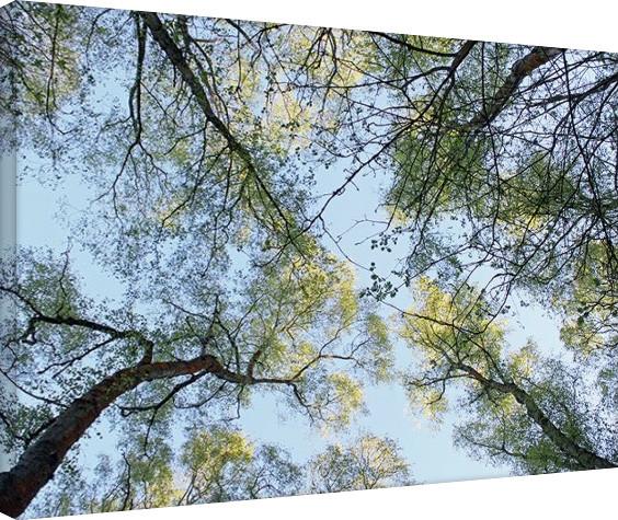 Plagát Canvas Alyson Fennell - Spring Morning Tree Tops
