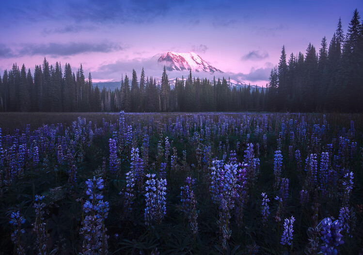 Photographie d'art Adam's Lupine
