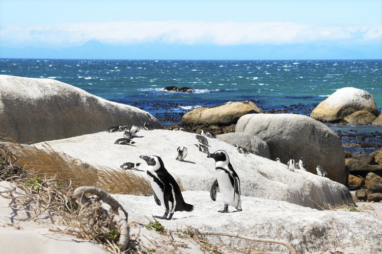Arte fotográfico African Penguins
