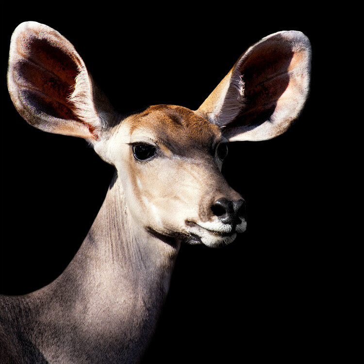 Arte fotográfico Antelope Impala Portrait Black Edition