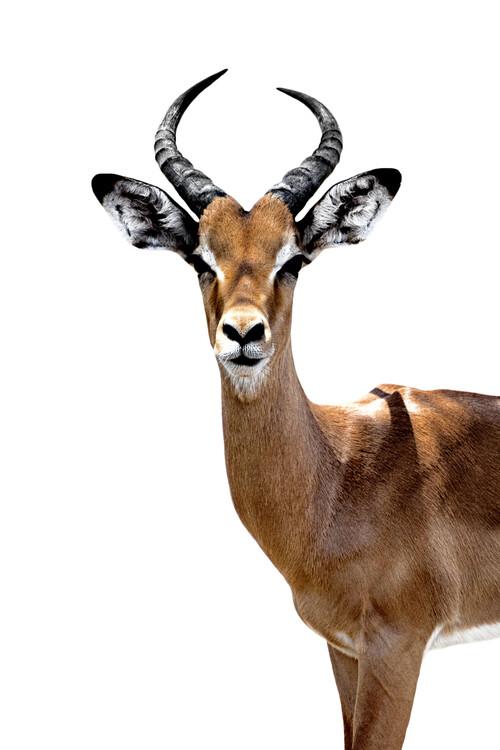 Umelecká fotografia Antelope White Edition