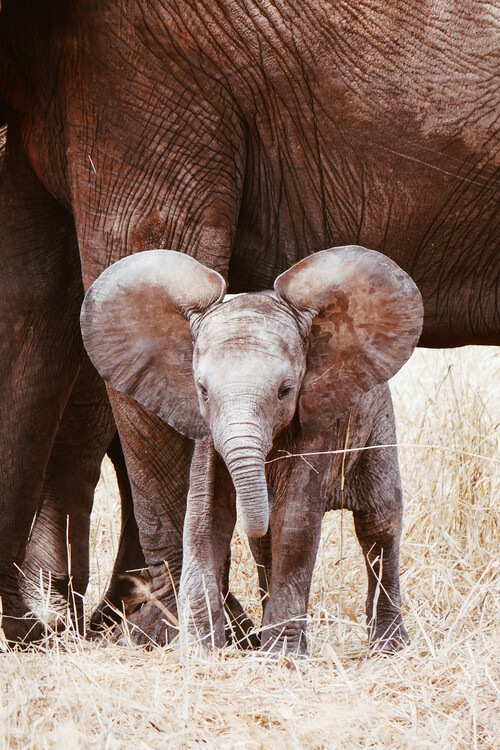 Photographie d'art Baby Elephant