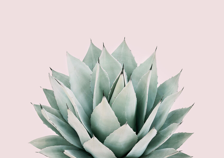 Photographie d'art Blushing succulent