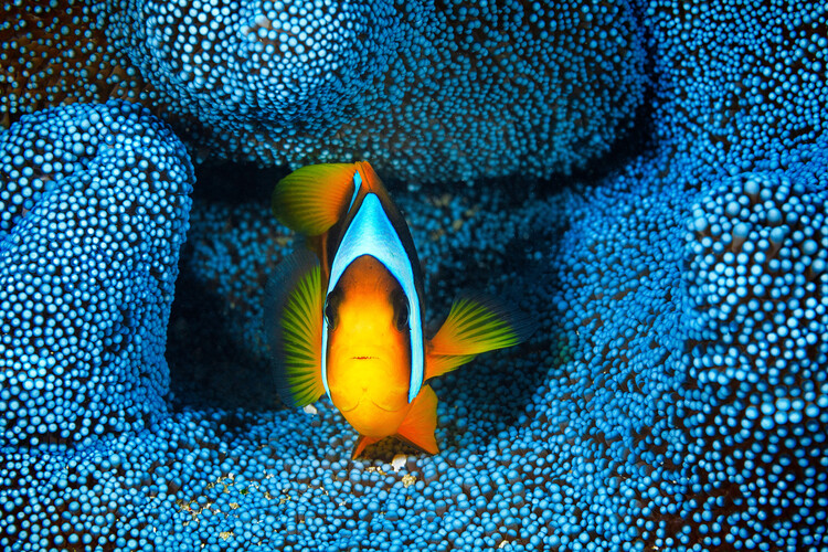 Photographie d'art Clownfish in blue anA©mon