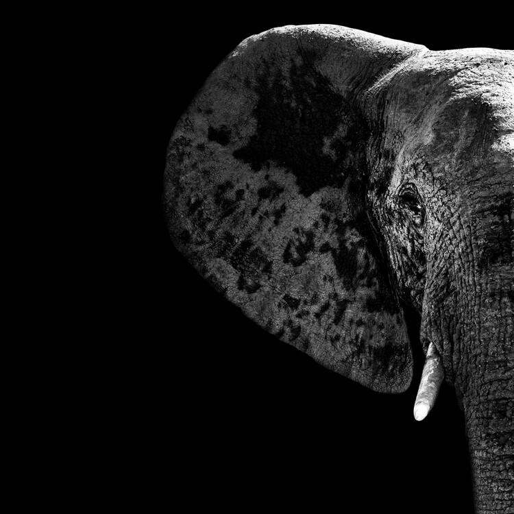 Arte fotográfico Elephant Portrait Black Edition