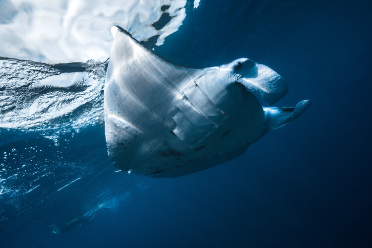 Photographie d'art Flying Manta ray