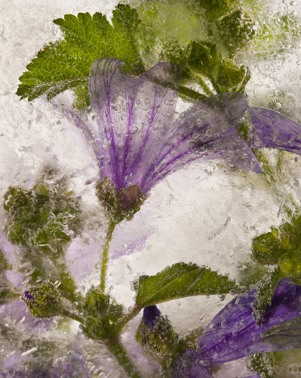Photographie d'art Frozen mallow flower