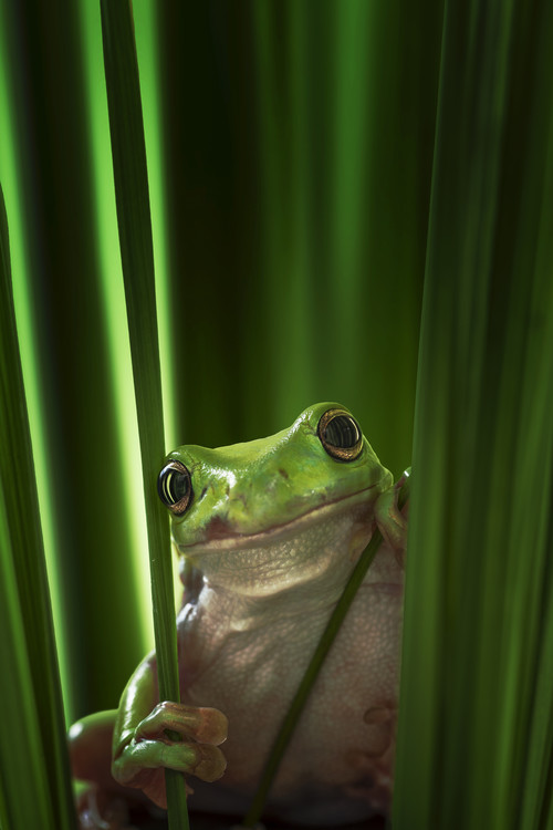 Photographie d'art Green Frog