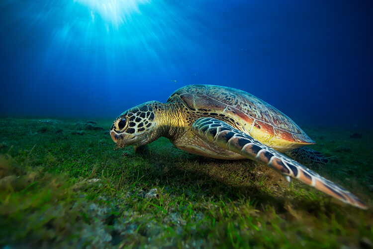 Photographie d'art Green turtle