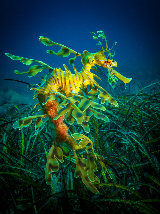Umelecká fotografia Leafy Sea Dragon - male with eggs