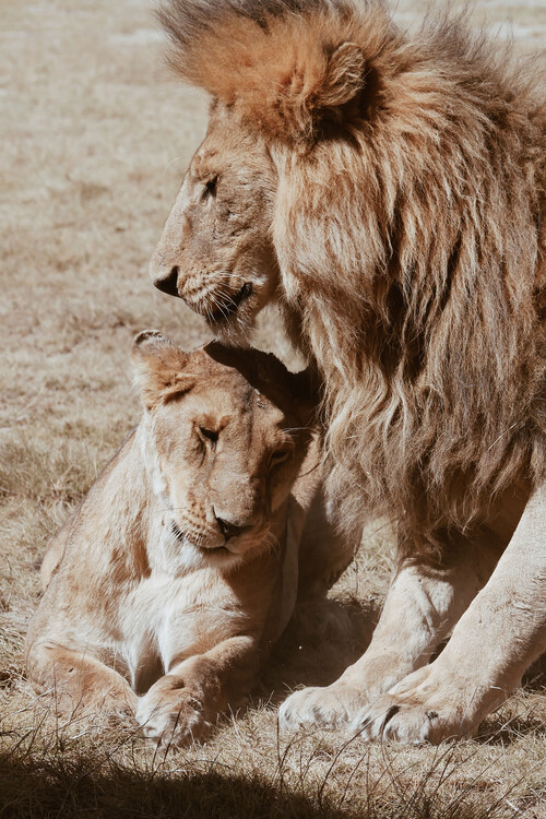Arte fotográfico Lion couple