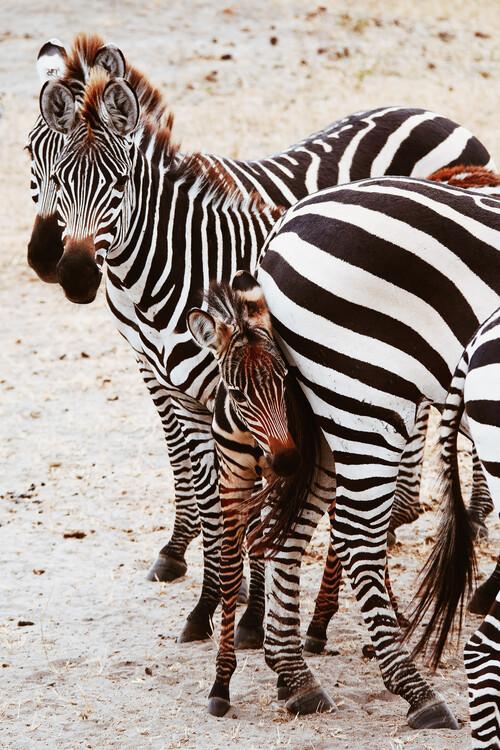 Umelecká fotografia Little zebra