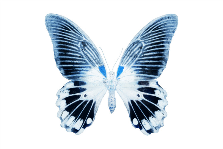 Arte fotográfico MISS BUTTERFLY AGENOR - X-RAY White Edition