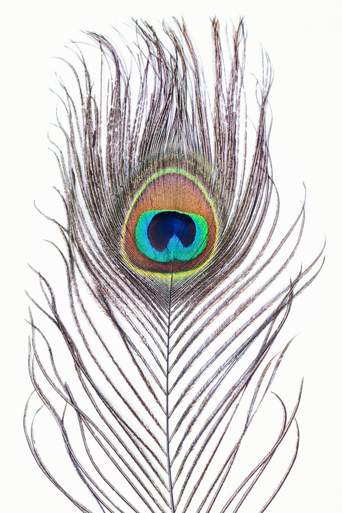 Arte fotográfico Peacock feather