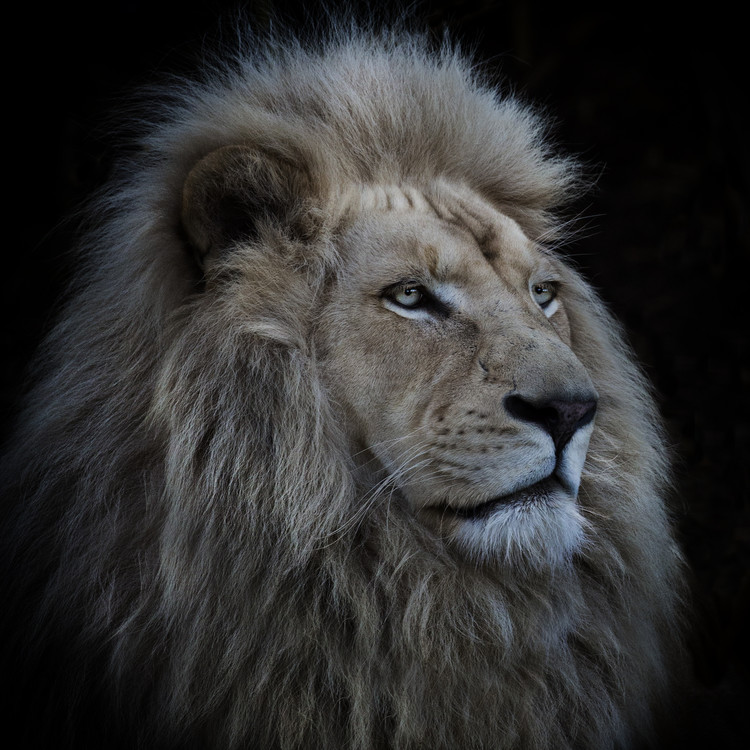 Photographie d'art Proud Lion