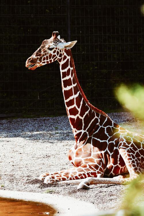 Umelecká fotografia Relaxing giraffe