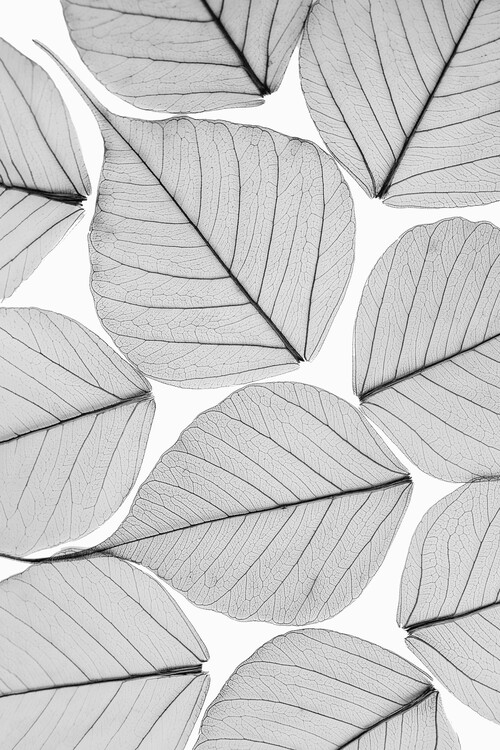 Kunst fotografie Skeleton leaf ii