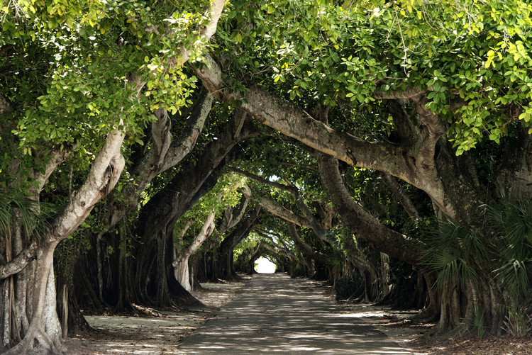 Arte fotográfico The Beautiful Banyan Tree