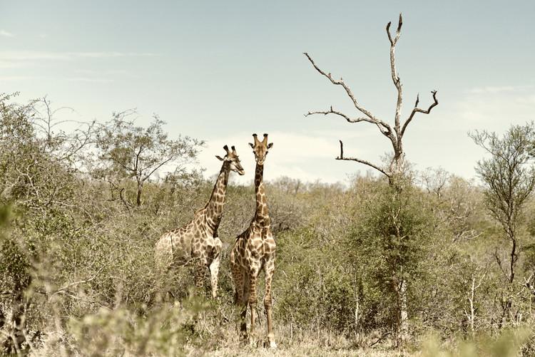 Arte fotográfico Two Giraffes