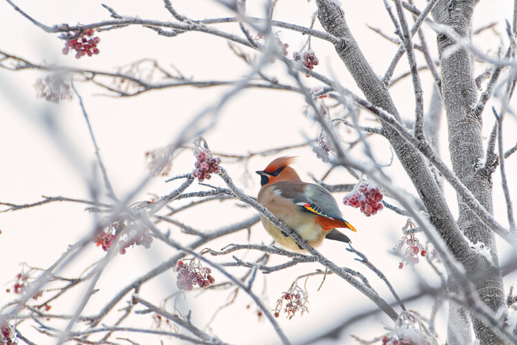 Photographie d'art Waxwing