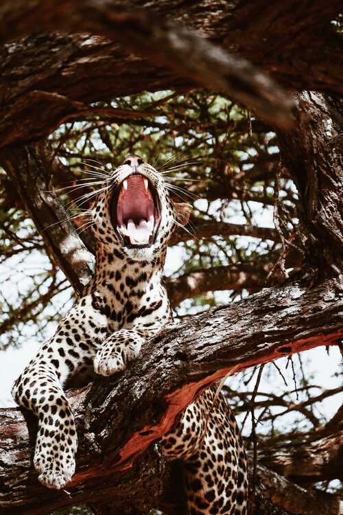 Arte fotográfico Yawning cat