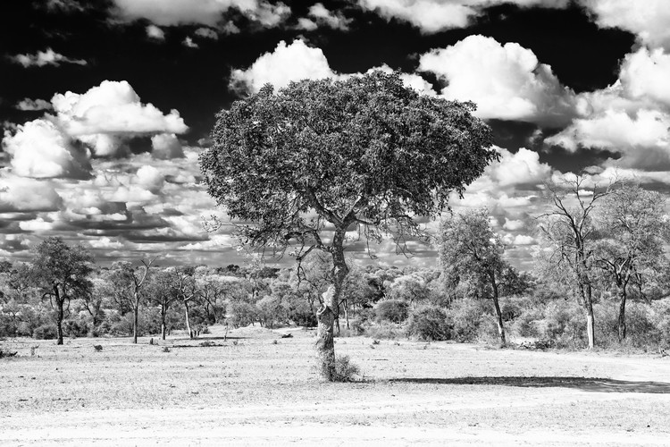 Umělecká fotografie  Acacia Tree in the African Savannah