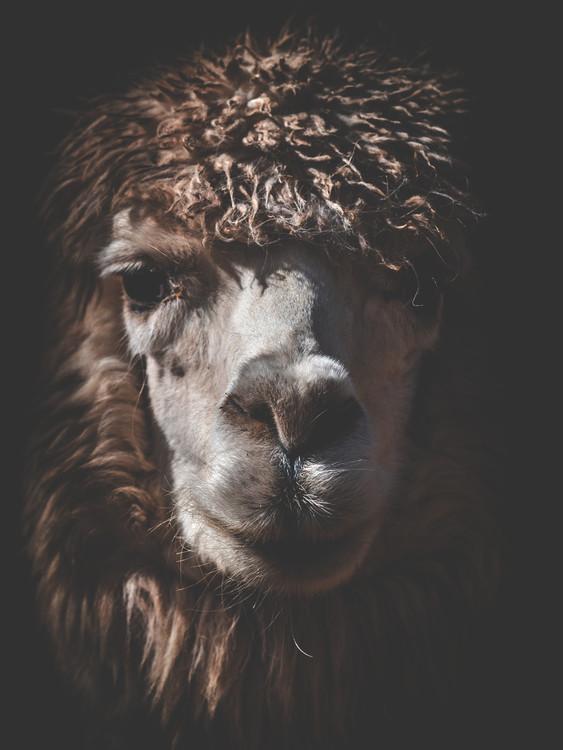 Kunst fotografie alpaca2