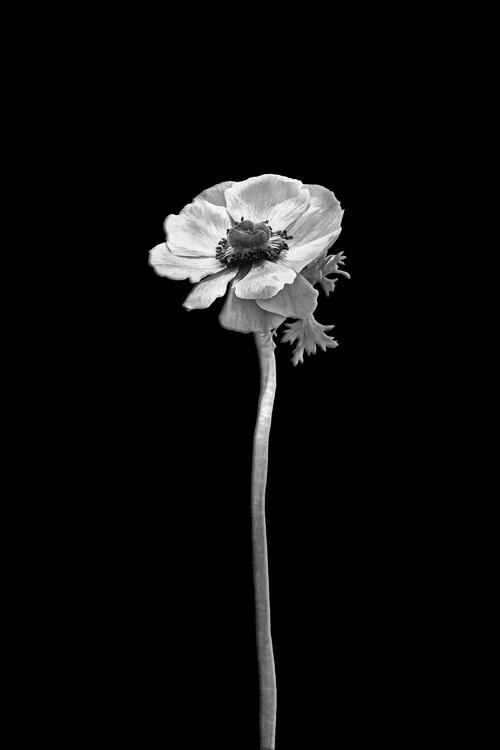 Kunstfotografie Anemone coronaria | dark design