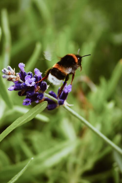 Umělecká fotografie Bee buzzing