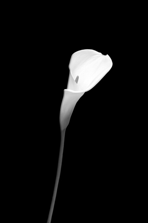 Kunstfotografie Calla | dark design
