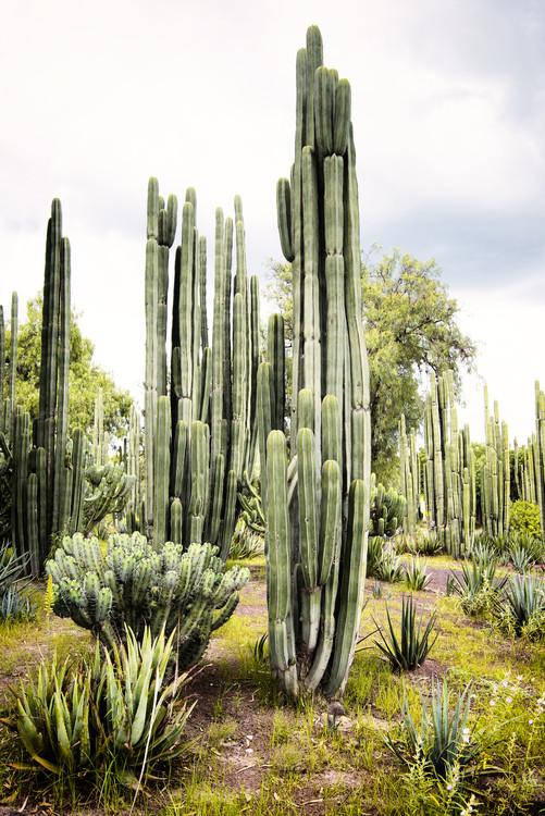 Umělecká fotografie Cardon Cactus II