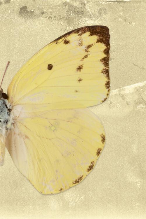 Artă fotografică CATOPSILIA PROFIL - GOLD