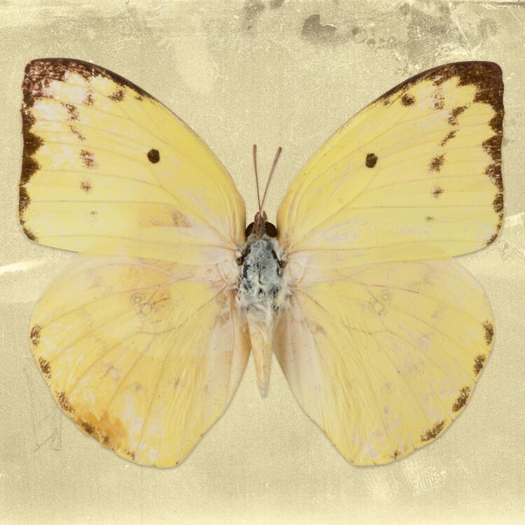 Artă fotografică CATOPSILIA SQ - GOLD