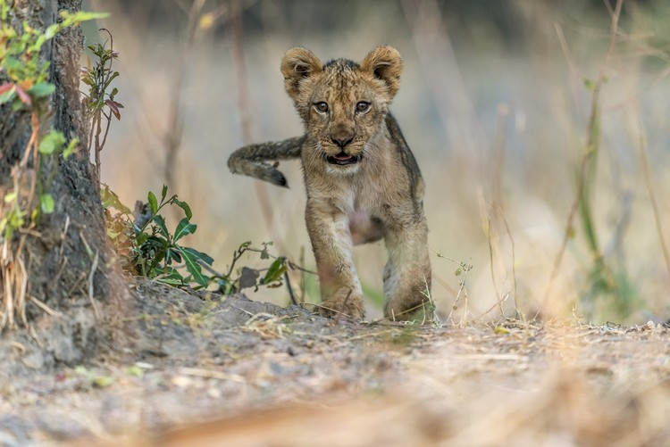 Konstfotografering Cub - South Luangwa