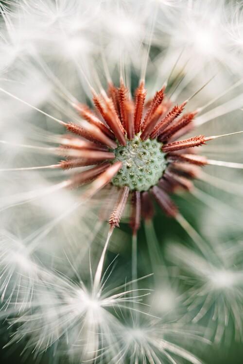 Umělecká fotografie Dandelion detail