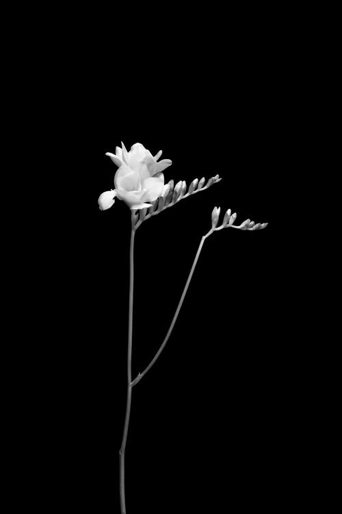 Kunstfotografie Freesia | dark design