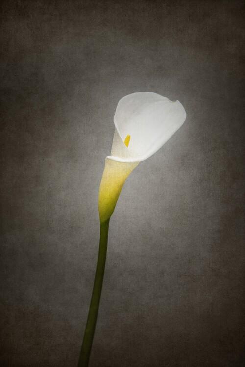 Kunstfotografi Graceful flower - Calla No. 3 | vintage style