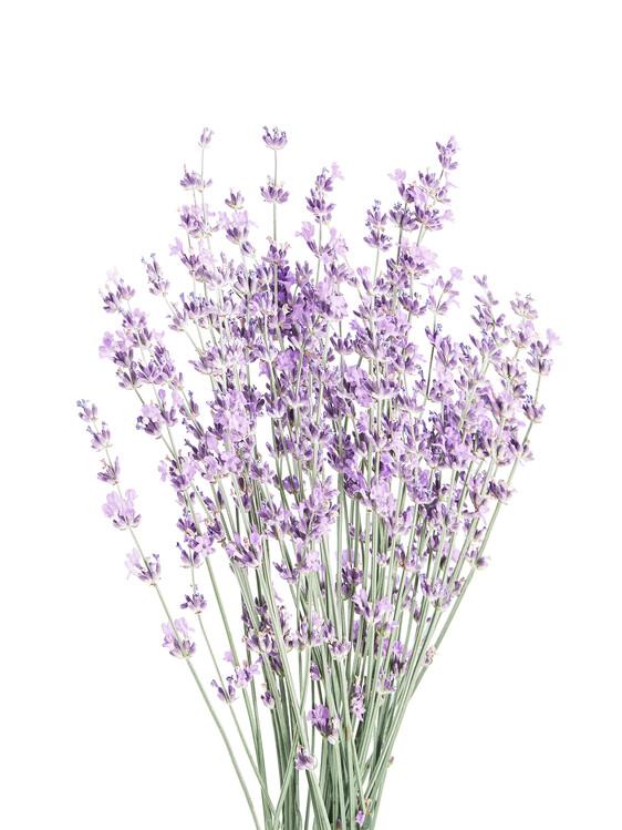 Kunstfotografie Lavender
