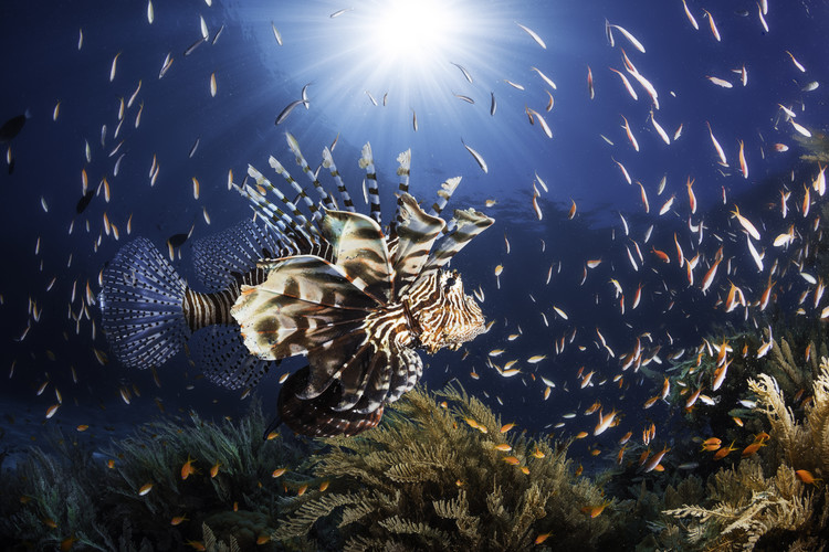 Photographie d'art Lionfish