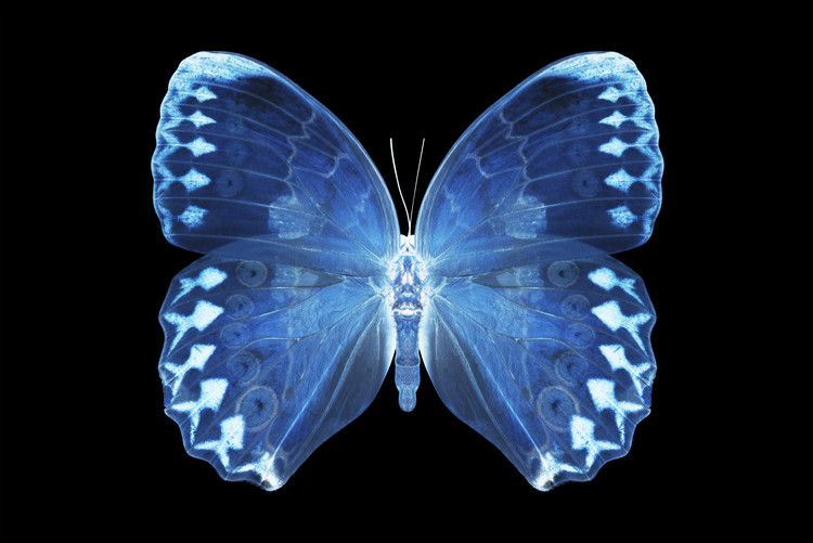 Kunstfotografie MISS BUTTERFLY FORMOSANA - X-RAY Black Edition