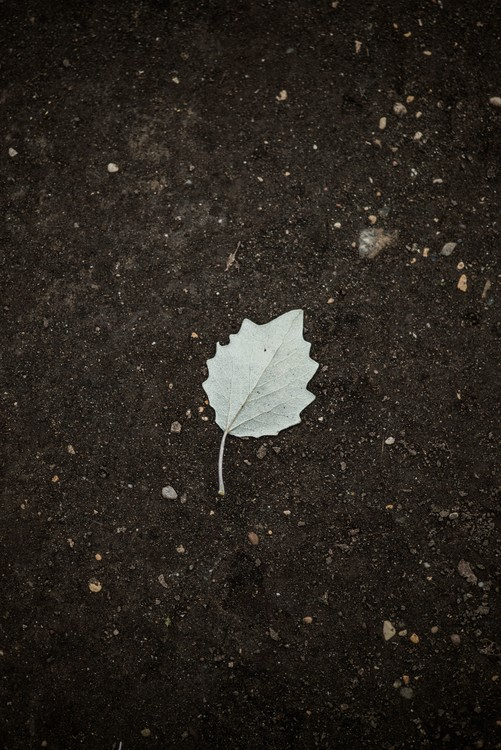 Photographie d'art One white leaf on the black terrain