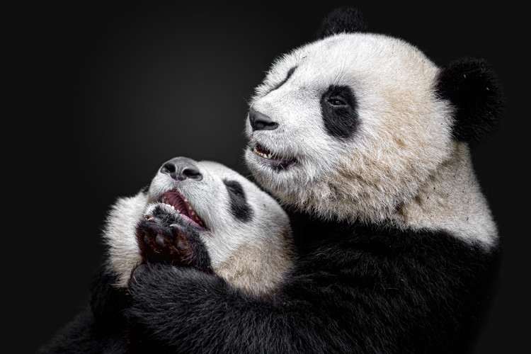 Photographie d'art Pandas