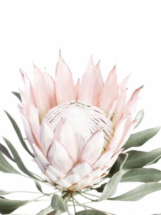 Kunstfotografie Pink Protea