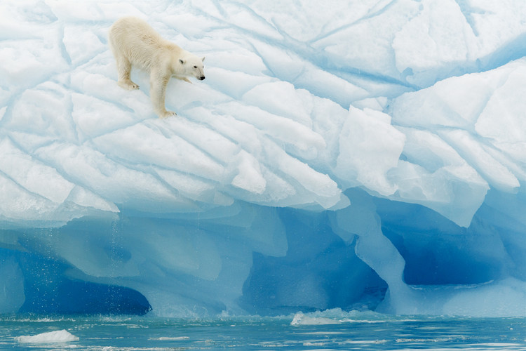 Photographie d'art Polar Bear
