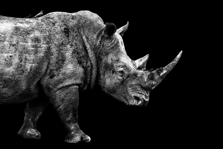 Umělecká fotografie Rhino Black Edition