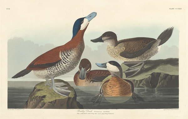 Reprodukcja Ruddy duck, 1836
