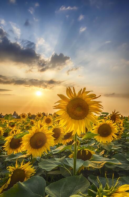 Fotografía artística Sunset with beautiful sunflowers