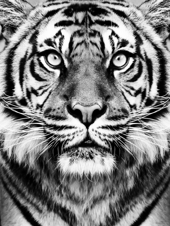 Kunstfotografi Tiger BW