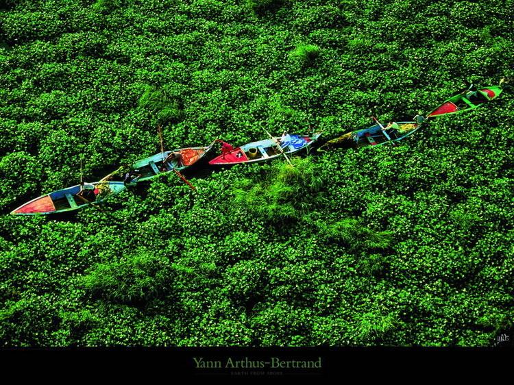 Barques prises dans les jacinthes d'eau sur le Nil Festmény reprodukció
