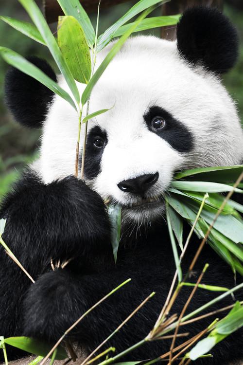 Canvastavla China 10MKm2 Collection - Panda